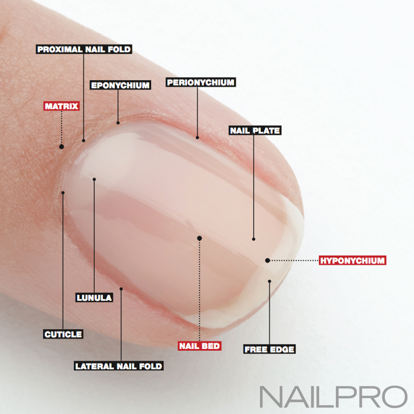 Nail Anatomy: A Professional Primer on the Parts of the Nail