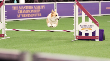 The 144-year-old Westminster Kennel Club Dog Show, the oldest continuously held event of its kind in the country, welcomed 204 breeds from 20 countries in 2020. This year, event organizers expanded the show's programming to fill three days of purebred canine competitions, including the Masters Agility Championship, the Masters Obedience Championship, and the Best in Show competition. In total, 2,630 dogs participated in the festivities, which drew 40,000 (human) attendees to Pier 94 and Madison Square Garden. Siba, a standard poodle, earned the title of Best in Show. Next: February 13-16, 2021